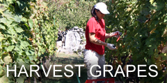 harvest_grapes.jpg